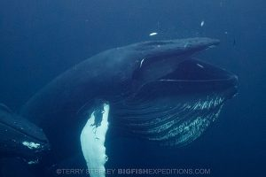 Diving with humpback whales feeding on herring in Norway