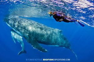 diving with humpback whales