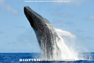 breaching humpback whale dominican republic