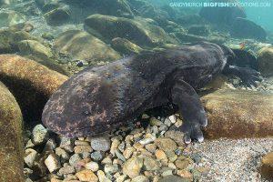 Giant Salamander Snorkeling
