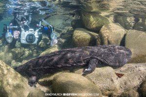 Snorkeler with Giant Salamander