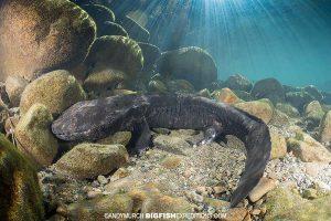 Giant Salamander Snorkeling underwater