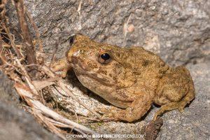 Wrinkled Frog, Japan.