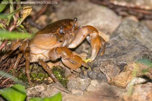 Crab in the forest in Gifu.
