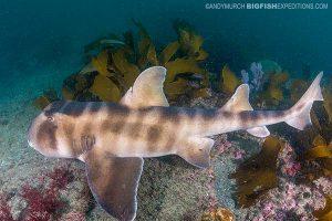 Japanese horn shark diving