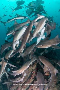 Diving with a big school of sharks in Japan