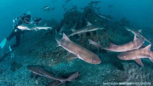 Diving with Sharks in Japan