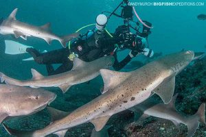 Diving with houndsharks in Japan