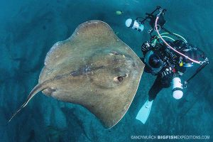 Diving with red stingrays in Japan