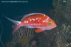 Japanese deepwater anthia