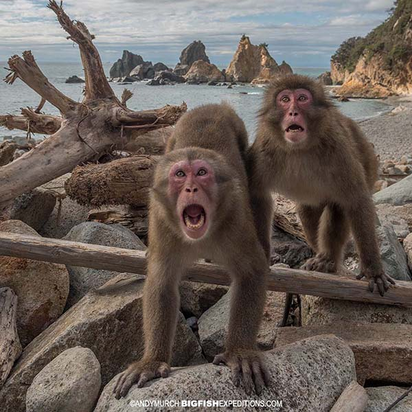 Snow monkeys at the beach in Japan
