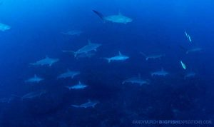 Diving with scalloped hammerheads in Mikomoto Island in Japan