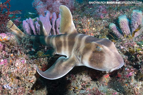 Scuba diving with a Japanese horn shark