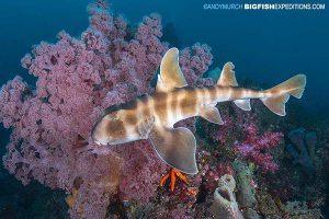 A beautiful Japanese horn shark