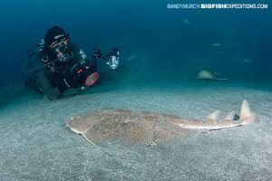 Japanese wobbegong diving