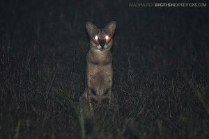 Jungle Cat on Leopard Sri Lanka Safari