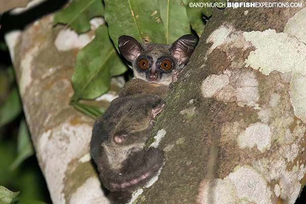 Bushbaby or Galago in Kibale Forest