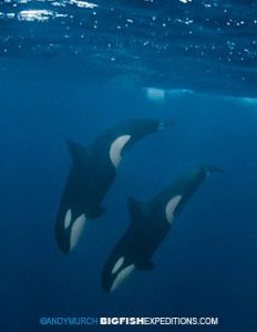 Killer Whales in Norway Diving