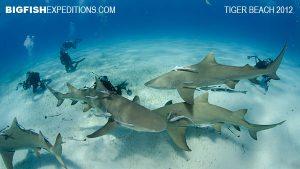 Lemon Sharks Tiger Beach