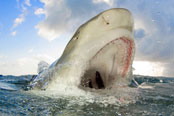A lemon shark breaching at Tiger Beach