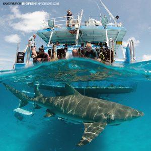 photographing tiger sharks and lemon sharks at Tiger Beach