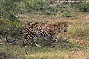 Leopard Sri Lanka Safari