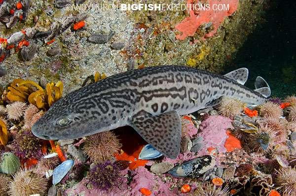 Leopard Catshark