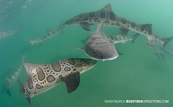 Leopard Sharks San Diego