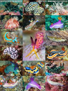 nudibranch diving in the Philippines