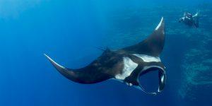 Manta Ray Diving in Socorro