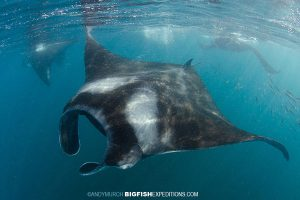 A group of mantas on the Sailfish Expedition near Isla Contoy
