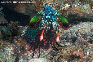 Mantis Shrimp diving in Malapscua