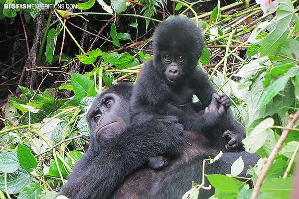 Baby mountain gorilla adventure