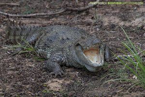 Mugger Crocodile Sri Lanka Safari