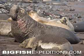 Elephant seal at Guadalupe Island