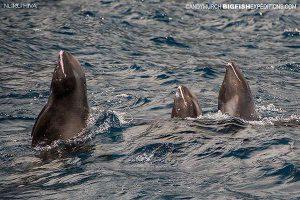 Spy hopping melonheaded whales