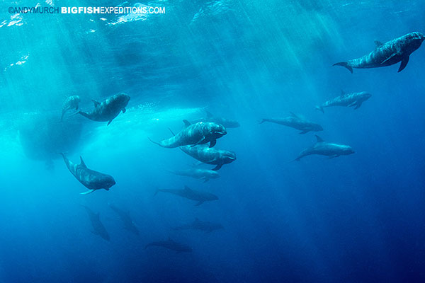 melonheaded whales in Nuku Hiva