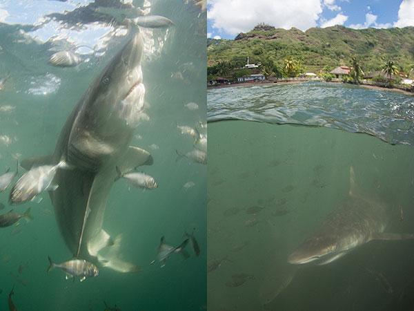 blacktip sharks in Nuku Hiva