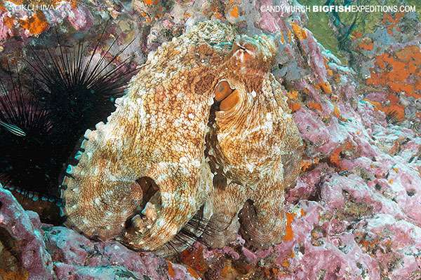Day Octopus in Nuku Hiva