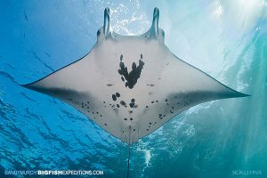 reef manta ray Manta alfredi