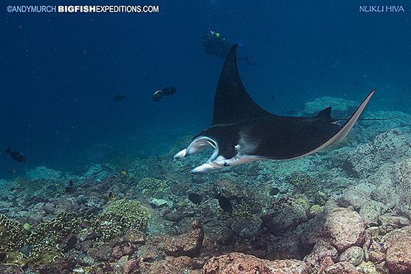 Reef manta ray nuku hiva
