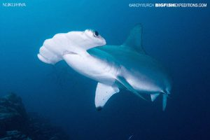 Scalloped hammerhead diving in Nuku Hiva, French Polynesia.