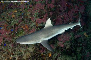 blacktip shark nuku hiva