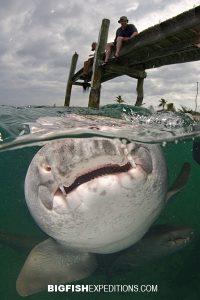 Nurse shark over/under Cat Island, Bahamas.