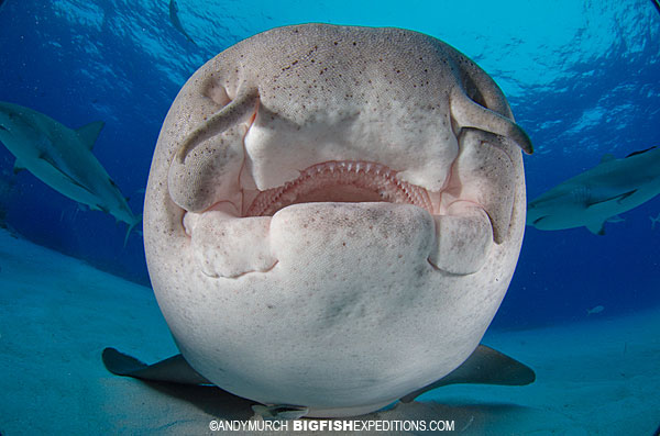 Nurse shark diving tiger beach