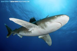 A beautiful oceanic whitetip shark