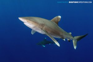 Oceanic whitetip sharks at Cat Island in the Bahamas