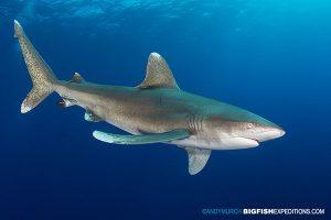 Oceanic whitetip diving