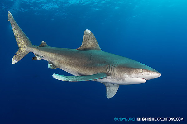 Oceanic whitetip diving