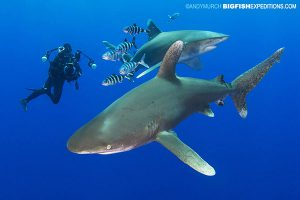 Diving with oceanic whitetip sharks